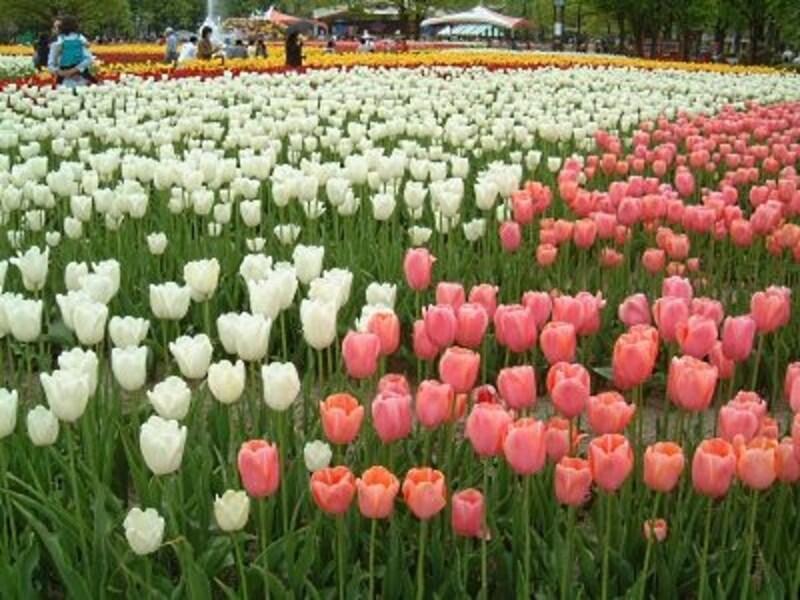 となみチューリップフェア(1)/大花壇を彩るチューリップ