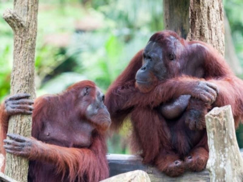 シンガポール動物園オランウータン