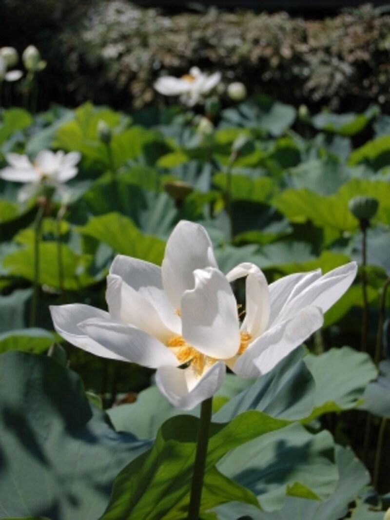 鶴岡八幡宮源平池の蓮(ハス)