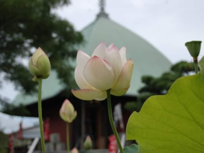 本覚寺undefined夷子堂と蓮のコラボが美しい
