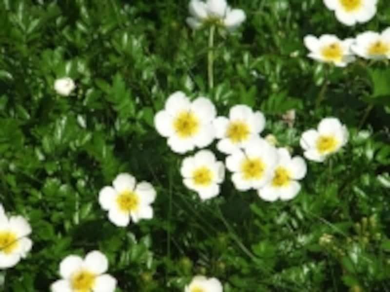 可憐な花、チングルマ