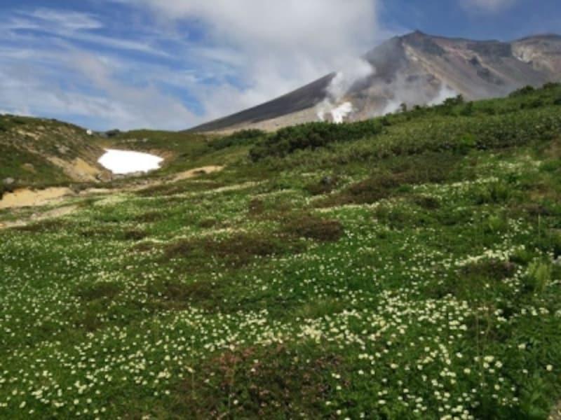 旭岳とチングルマの群落
