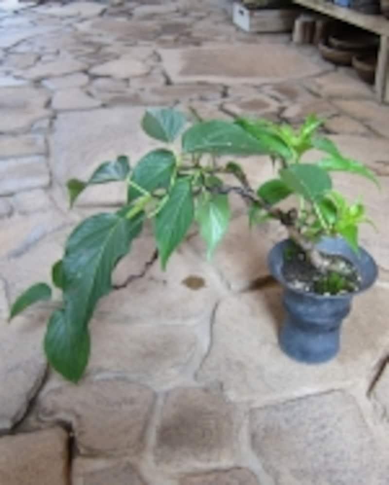 真夏のキブシの盆栽