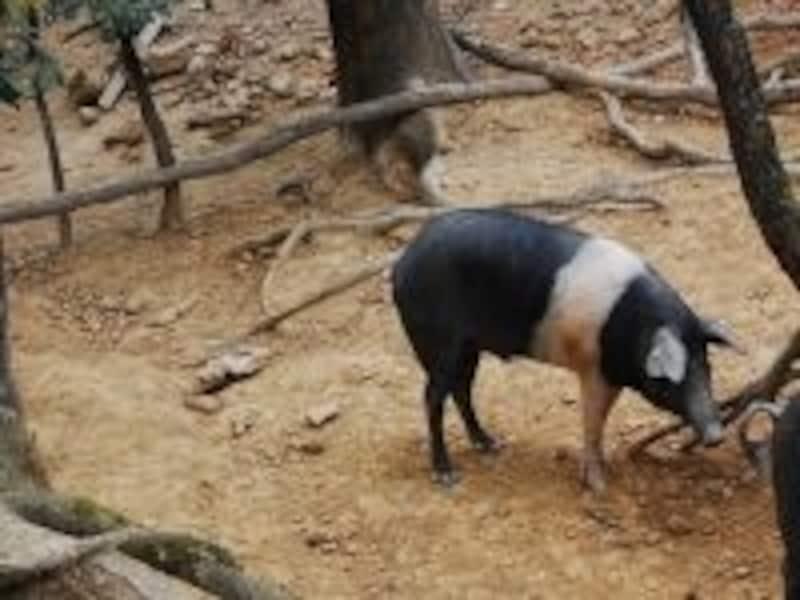 トスカーナ・グルメも楽しみ!シエナ近郊で飼育される幻の豚「チンタ・セネーゼ」を試したい