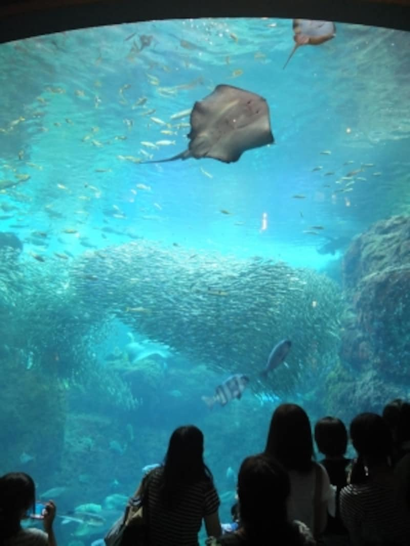 ダイバーによるショーなども行われる「相模湾大水槽」の中で、マイワシの大群が泳ぎ回るのは圧巻!