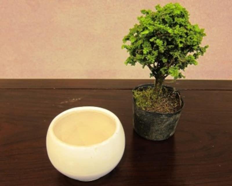 ヒノキの盆栽の作り方