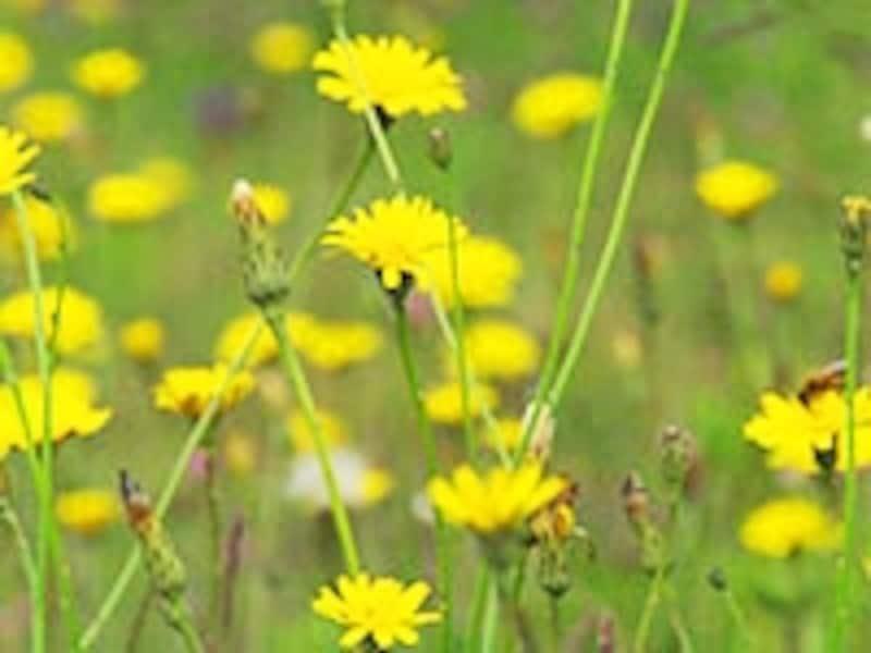 希望を表す黄色い花