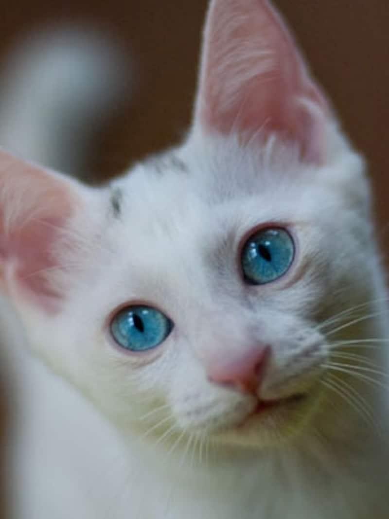 ブルーアイの白三毛