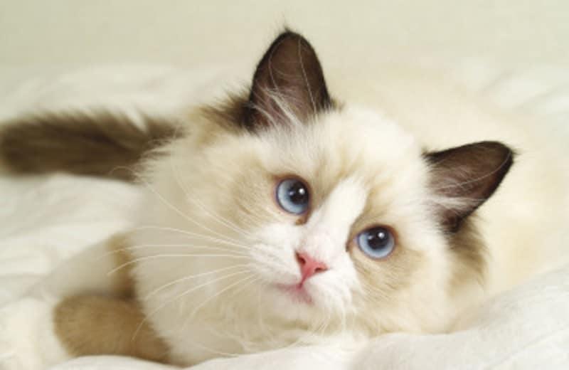 ブルーアイの猫