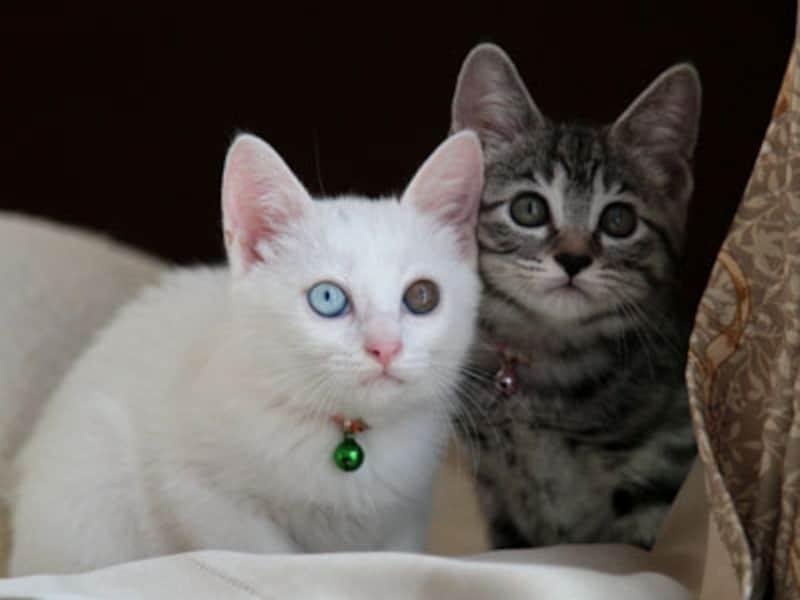 オッドアイの白猫とサバトラの兄弟