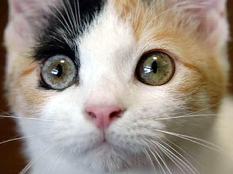 瞳の中の虹彩の色が違うタイプのオッドアイ