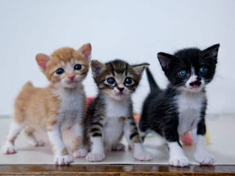 白斑遺伝子、茶白とキジ白と黒白兄弟
