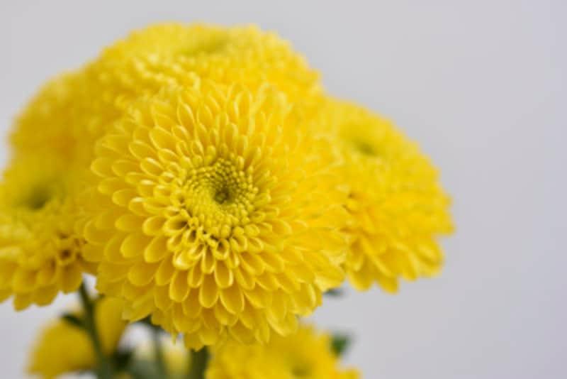 9月9日の重陽の節句(菊の節句)は、五節句のひとつ