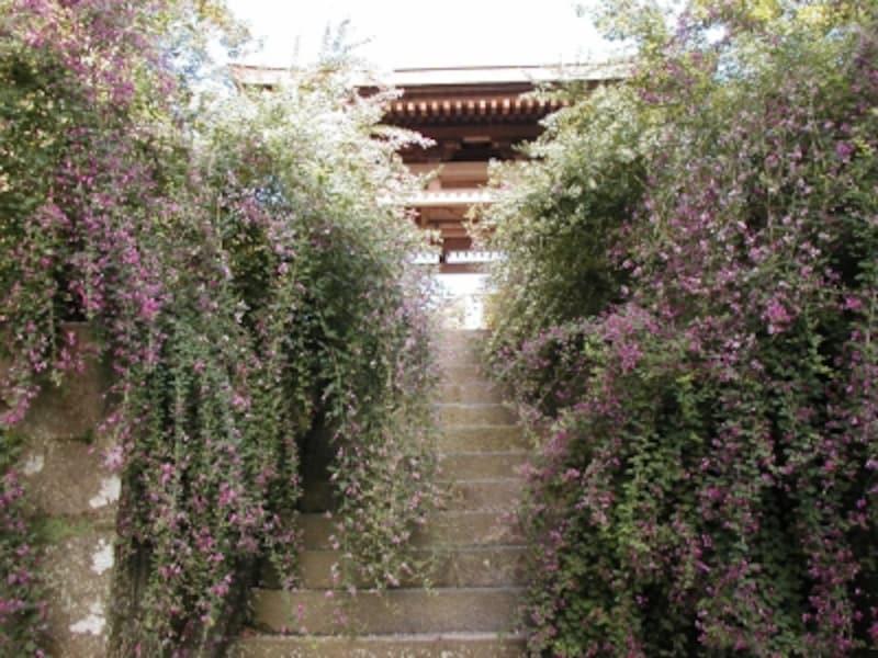 海蔵寺山門前の萩