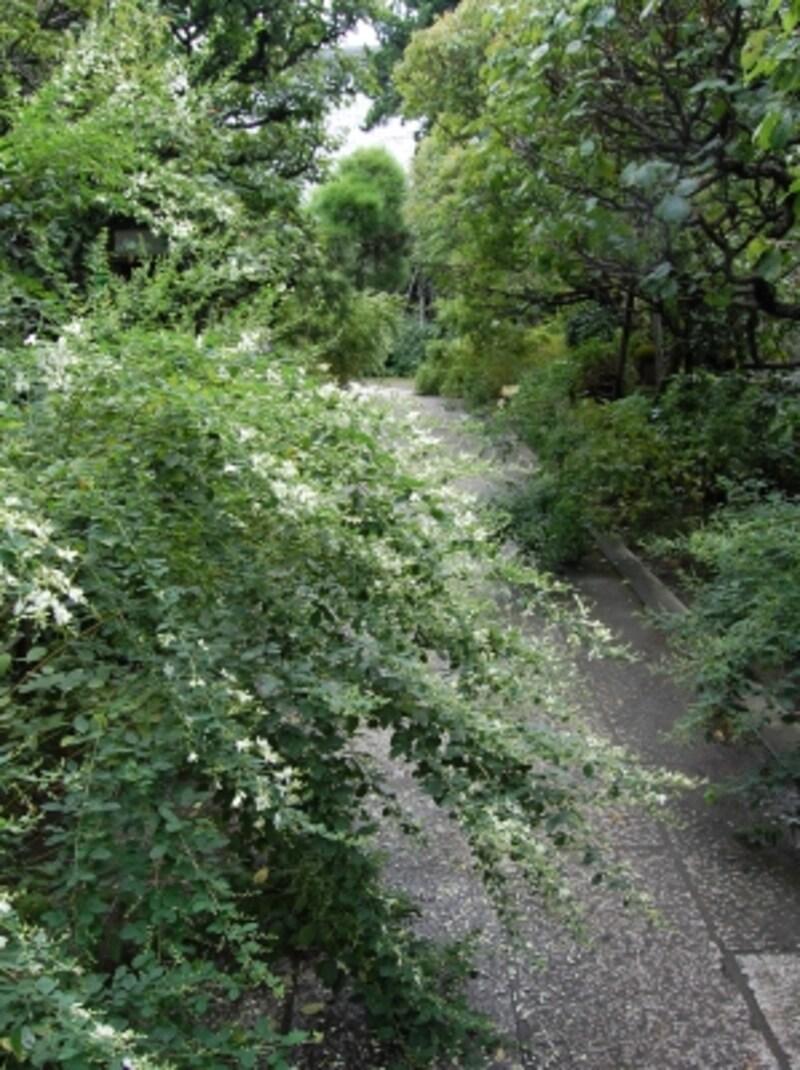 鎌倉の「萩寺」、宝戒寺の白萩