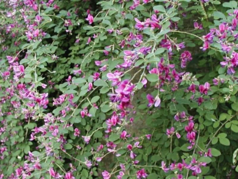初秋を彩る萩の花