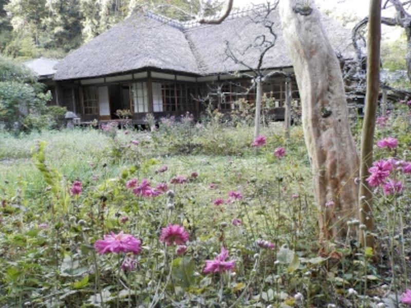 シュウメイギク咲く浄智寺の庭園
