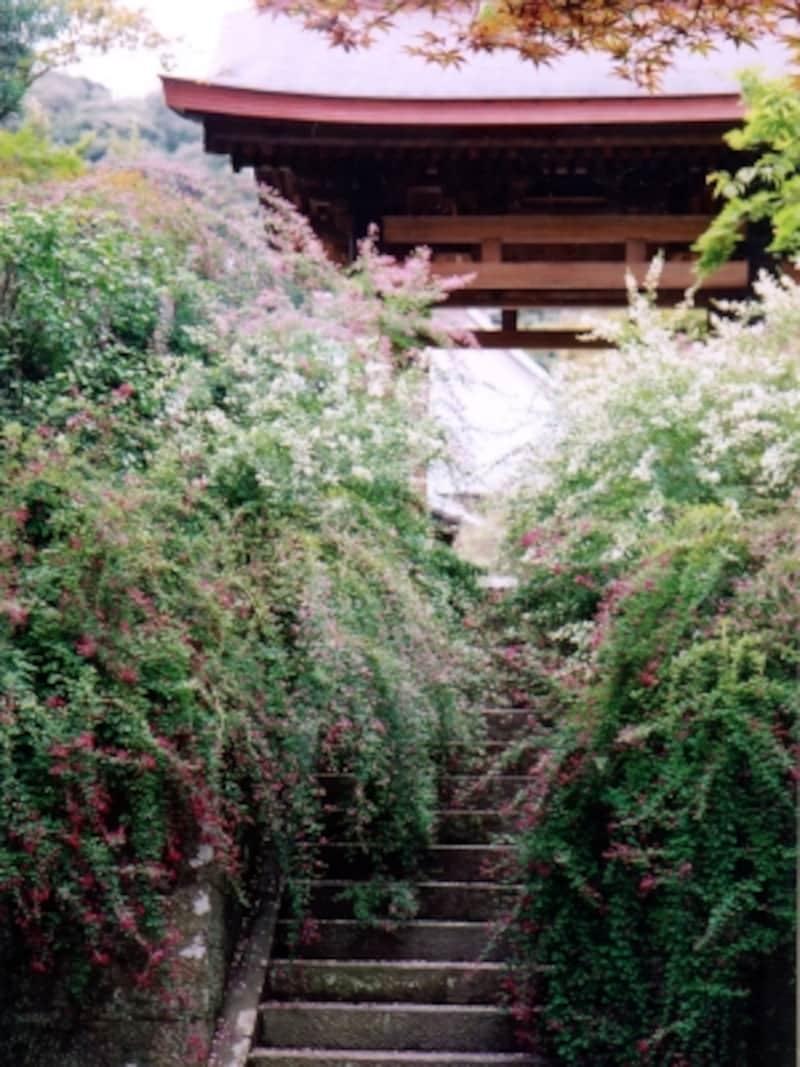 海蔵寺山門前のハギ