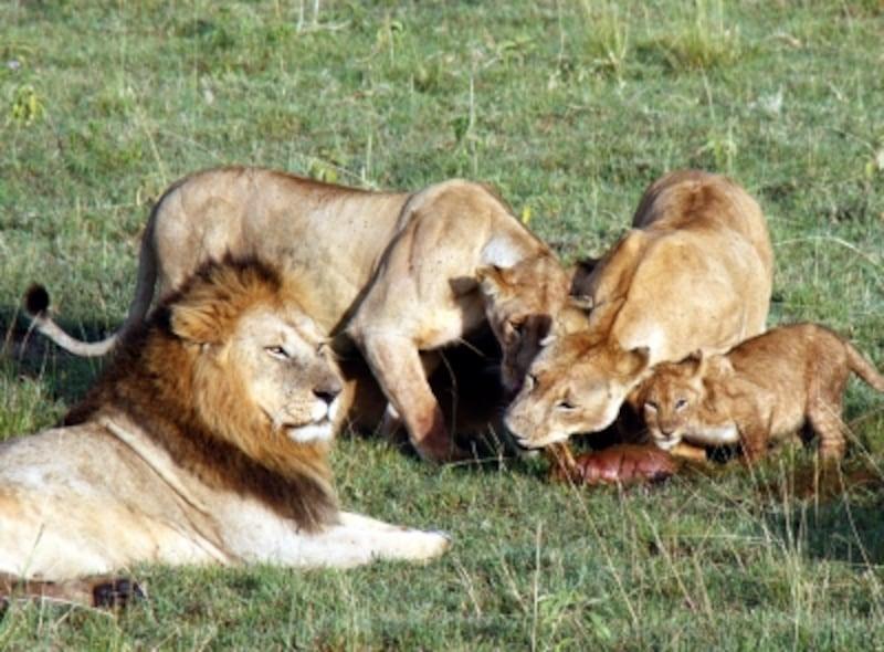 lionfafily