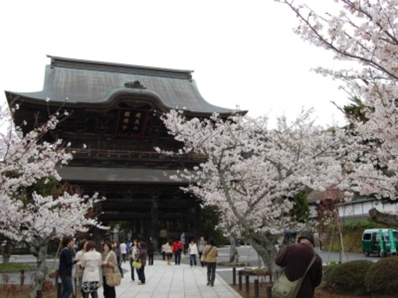 建長寺山門と桜。桜は山門付近、紅葉は境内奥のほうで色づきます