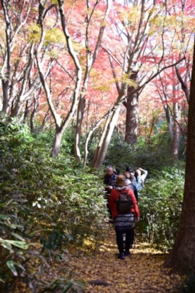 「獅子舞の谷」では紅葉と、銀杏の落葉による黄色の絨毯を同時に楽しめる(2015年12月9日撮影)
