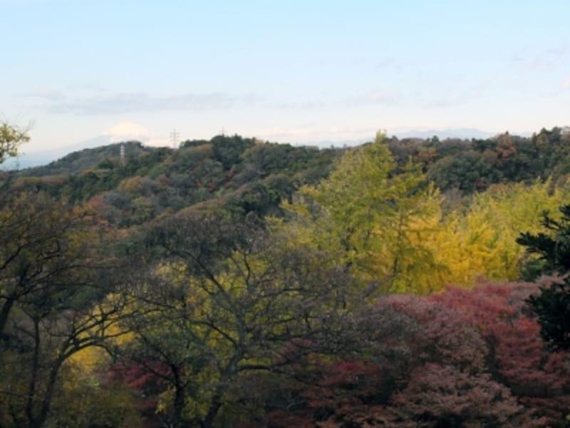 山の一部が黄色くなっているのが「獅子舞の谷」。遠くには富士山も見える(2013年11月27日撮影)