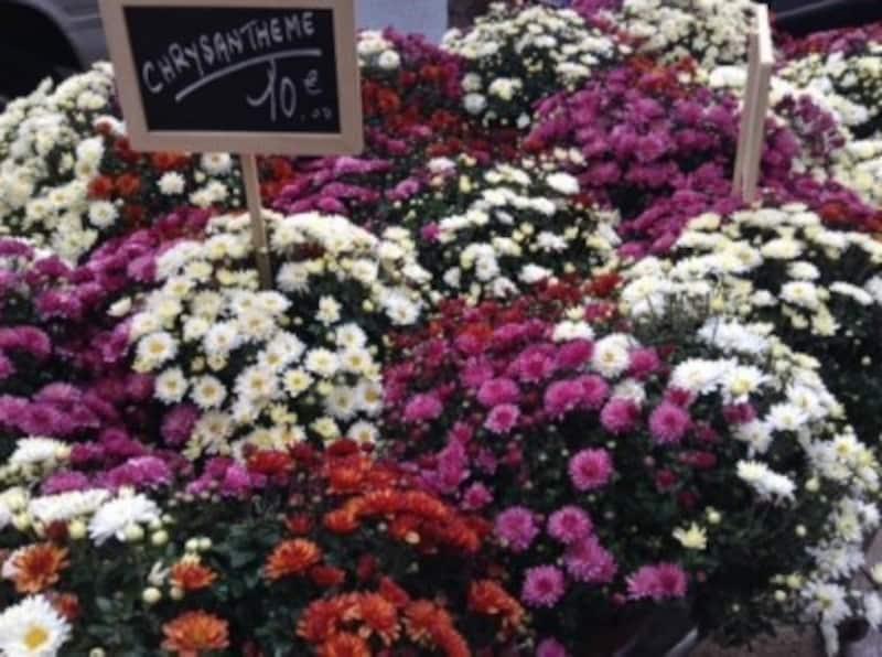 売り出し始めた菊の鉢植え