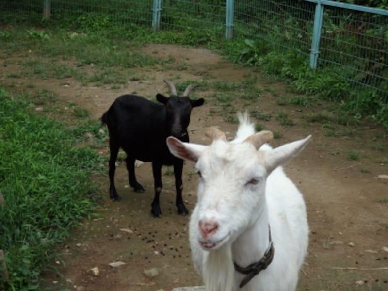 宝登山小動物園のヤギ