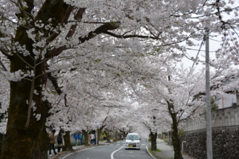 初春には桜のトンネルが延々と続く北桜通り