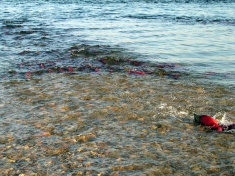 激しい流れの逆らって泳ぐサーモン。その姿は壮絶!