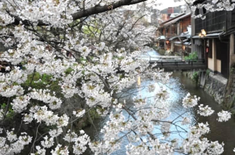 白川の流れと桜