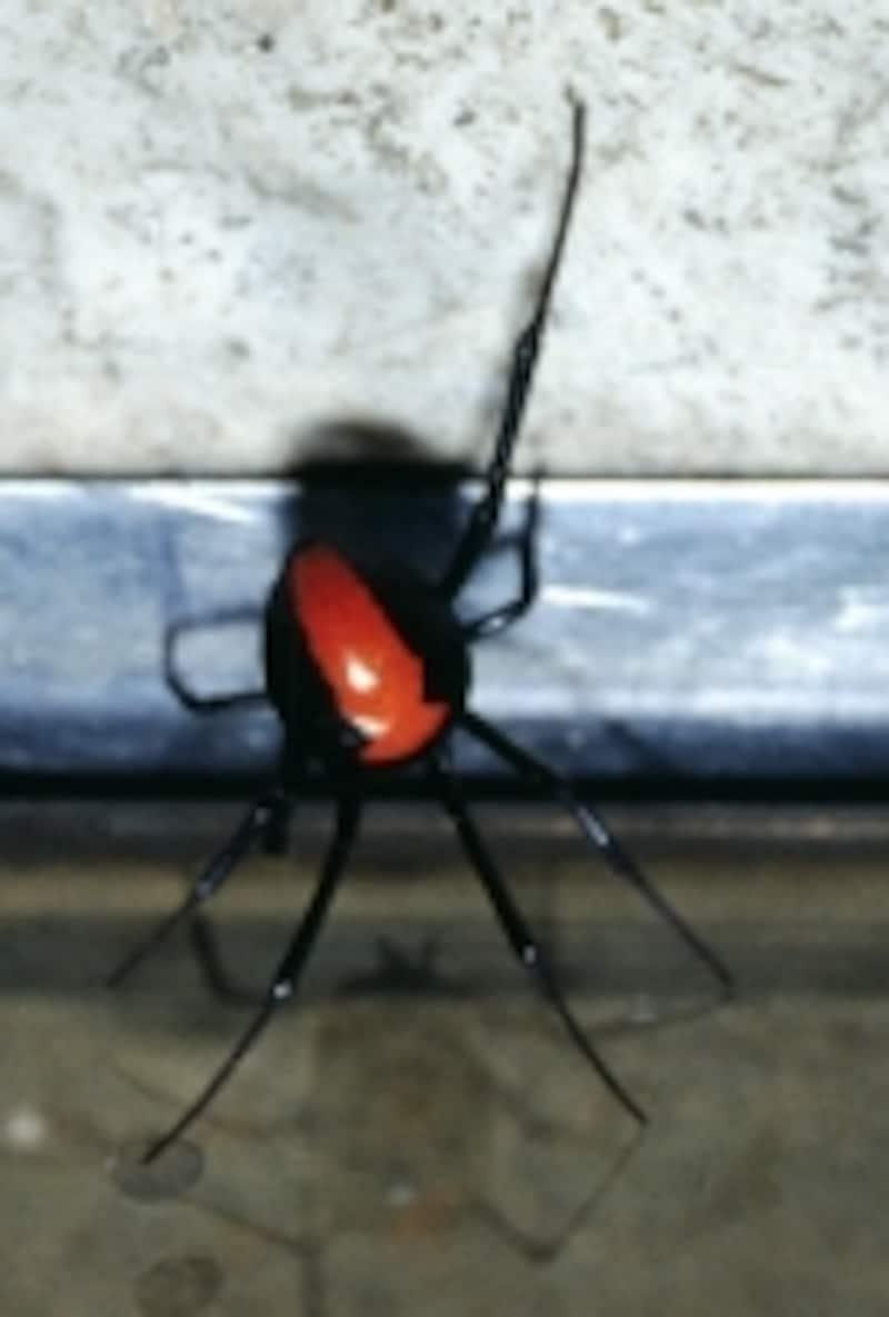 セアカゴケグモの模様