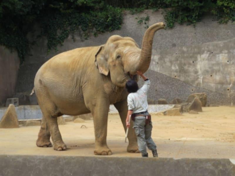 毎週土曜14:30~は「ゾウさんタイム」としてインドゾウの生態についてのガイドが行われます(体調により実施されない場合もあり)(2012年10月27日撮影)