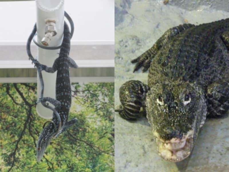 左:アオホソオオトカゲ 右:ヨウスコウワニ(画像提供:野毛山動物園)