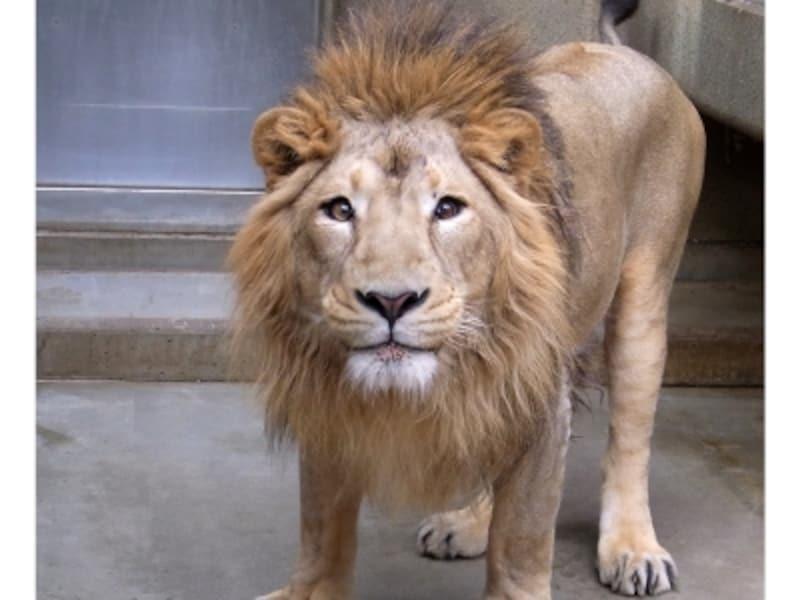 人気の動物は2014年にズーラシアからやって来た、インドライオンのラージャー(オス)(画像提供:野毛山動物園)