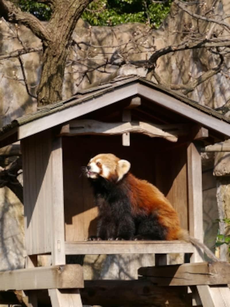 入口からすぐの「レッサーパンダ」はいつも人だかりが(2014年4月1日撮影)