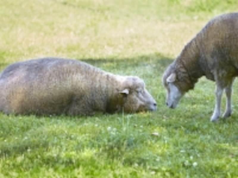 眠れないときに羊を数えるのはなぜ?