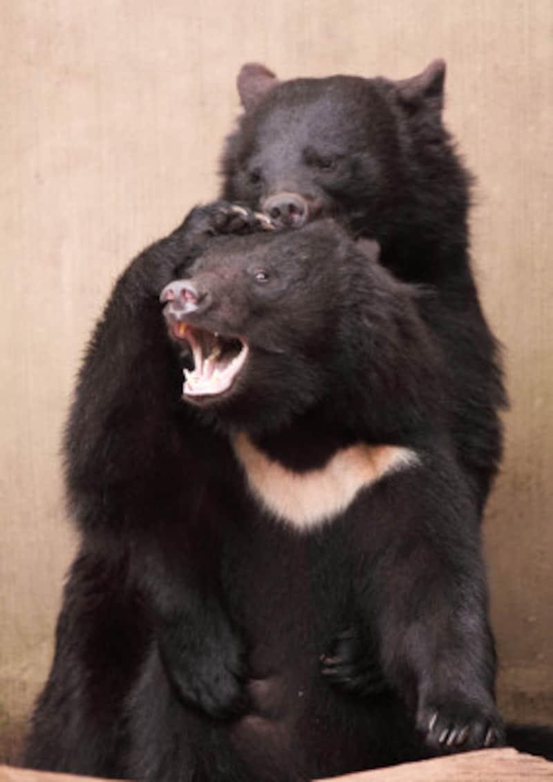 日本に生息する最大の猛獣がクマ