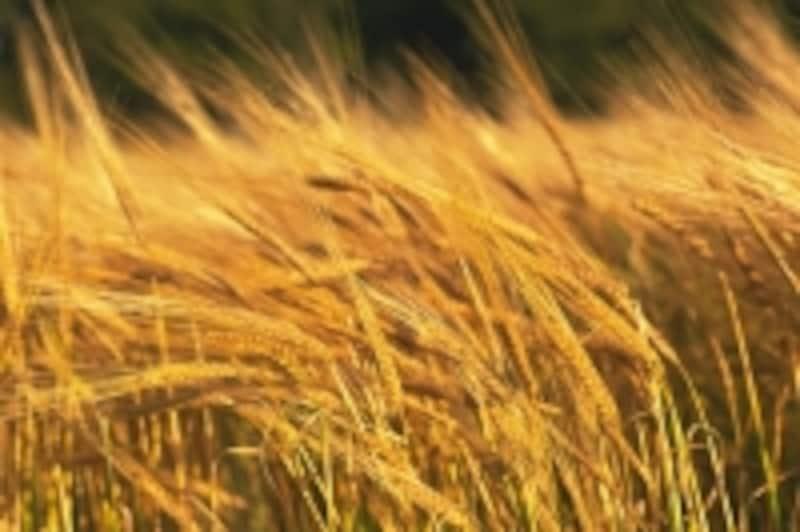 スコットランドの麦/イメージ