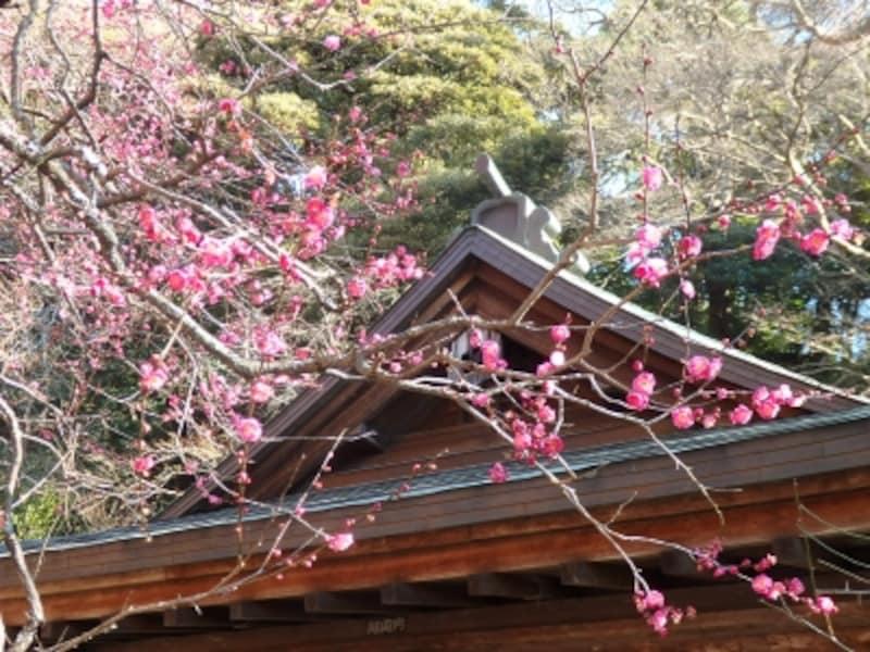 荏柄天神社の紅梅