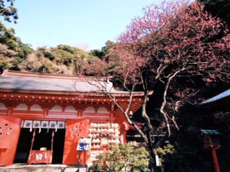 寒紅梅咲く荏柄天神社