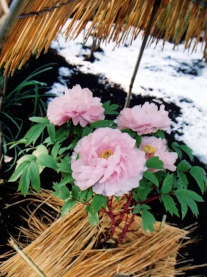 冬ぼたんの花
