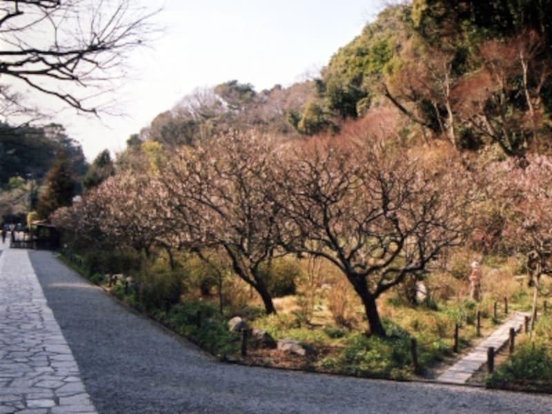 瑞泉寺門の脇にある梅林