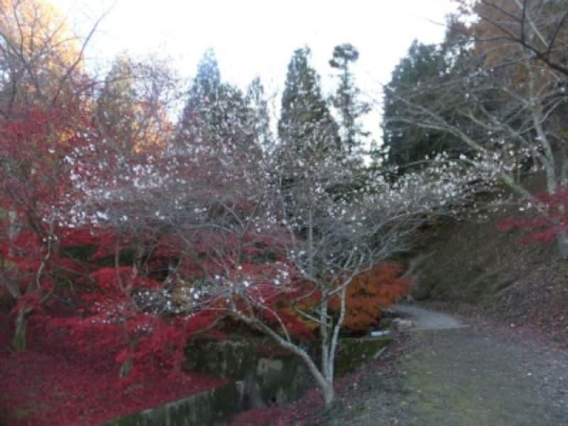 小原の四季桜(4)/紅葉と共に