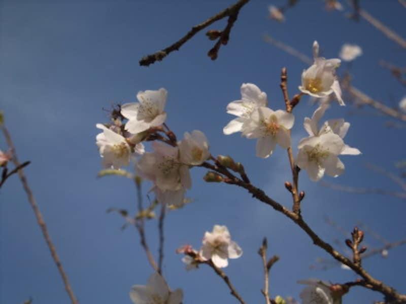 小原の四季桜(3)