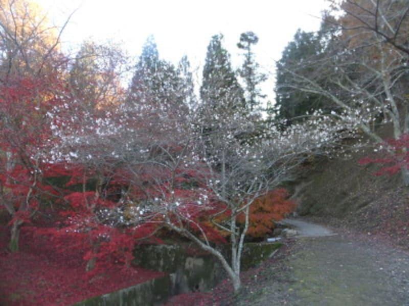 小原の四季桜(6)/紅葉と共に