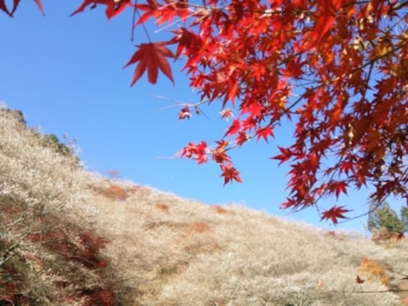 小原の四季桜(3)/紅葉と共に