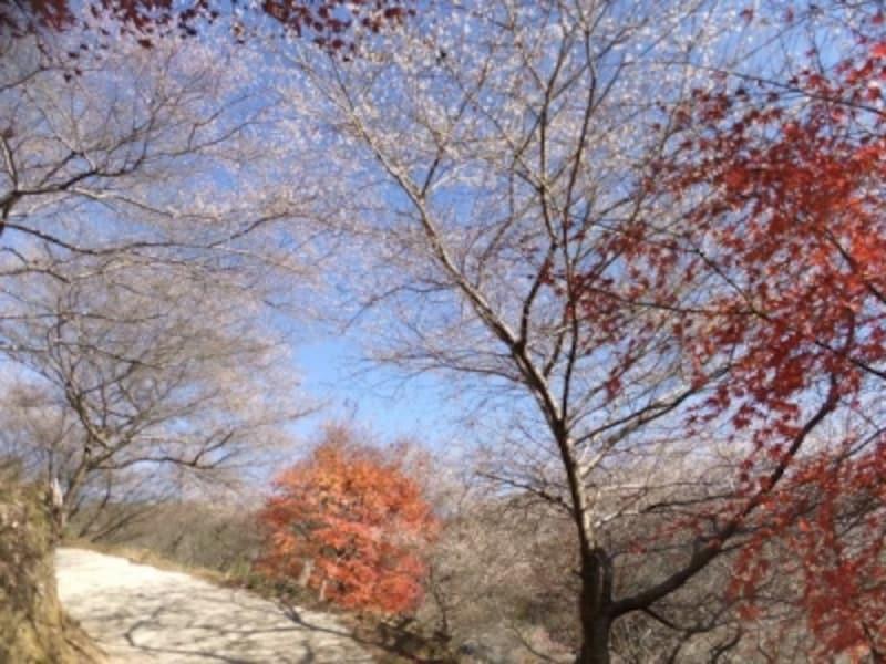 小原の四季桜(5)/紅葉と共に