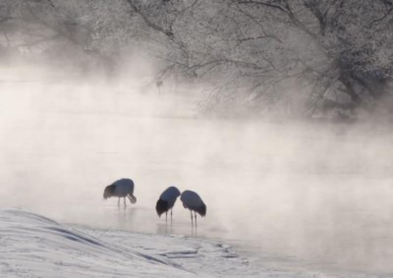 タンチョウ,バードウォッチング,鳥,冬,雪,雪景色,雪化粧,観察,カメラ,野鳥,野鳥観察