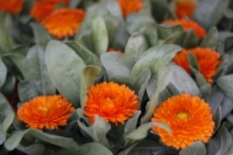 別名undefinedマリーゴールドの名前でも知られる植物です